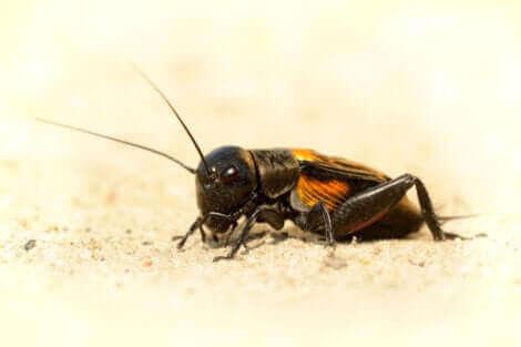 Il s'agit d'un cricket domestique.
