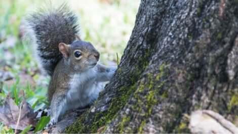 Un écureuil gris sur un arbre.