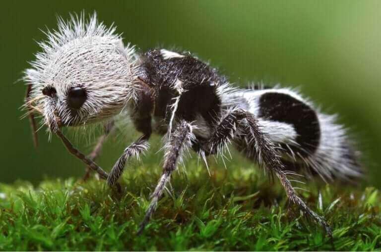 La fourmi panda : une guêpe parasite