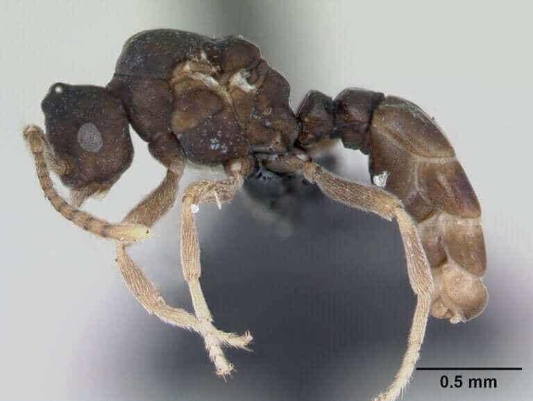 Fourmis Anergates atratulus : leur incroyable comportement
