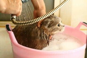 À quelle fréquence faut-il laver son chat ?