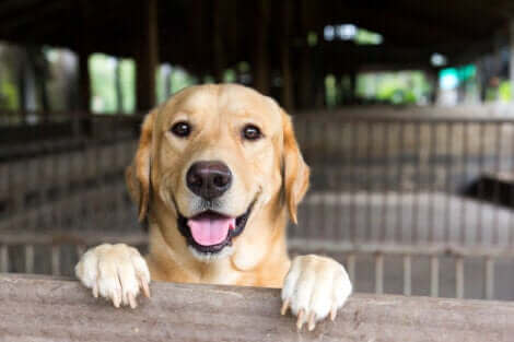 Il s'agit d'un labrador retriever.
