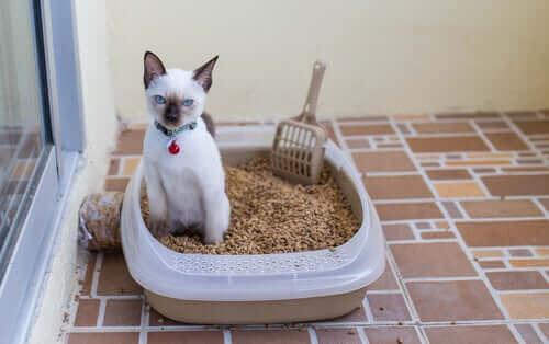 Infections urinaires chez le chat : uriner hors de la litière est un signe.