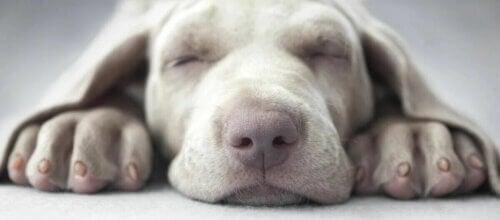 Narcolepsie canine : quand votre chien dort pendant une activité.