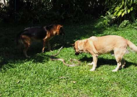 Les piqûres venimeuses des serpents peuvent mettre en danger les chiens.