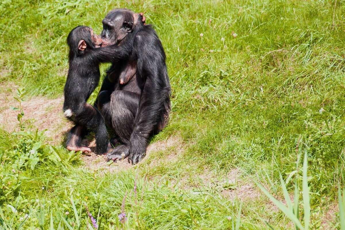 Certains primates ont recours au baiser.