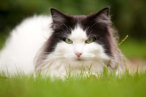 Un chat sur l'herbe.