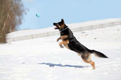 Ostéopathie canine : réhabilitation des muscles et des os.