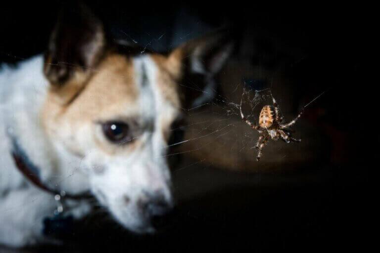 Les symptômes des piqûres venimeuses chez les chiens