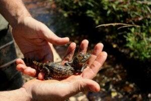 Un bébé yacaré overo qui tient sur une main.