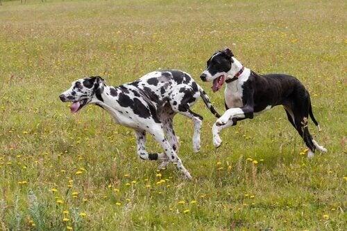 Deux chiens de la race Dogue Allemand.