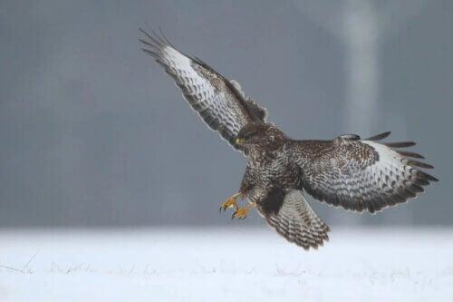 Un aigle en pleine chasse.