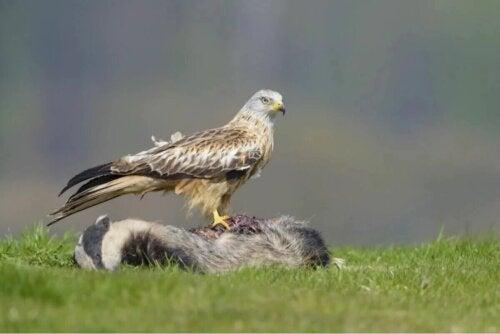 Un aigle et sa proie.