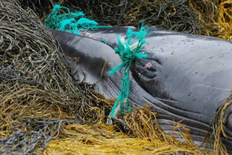 Une baleine prisonnière dans des filets.