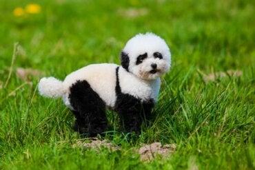 Nous vous disons tout sur les chiens pandas