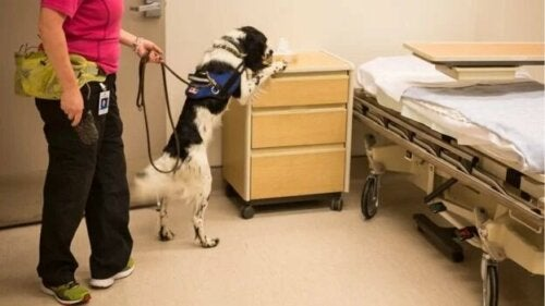 Un chien qui renifle une chambre d'hôpital.