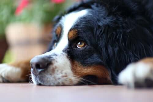 Un chien qui semble triste couché par terre.