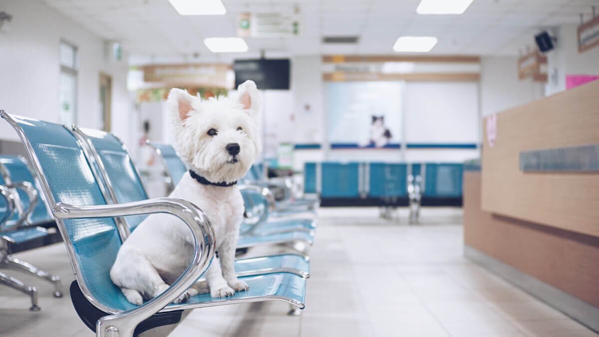 Un chien aux urgences.