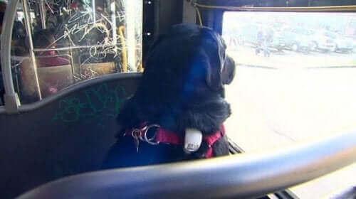 Un chien indépendant qui prend le bus.