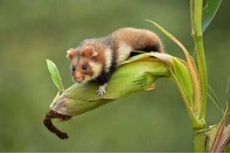Dans des conditions favorables, les hamsters n'hibernent pas.