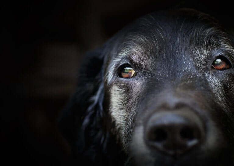 La démence sénile chez les chiens : que dit la science ?