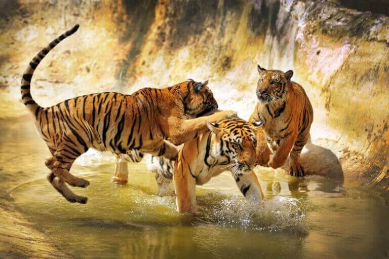 Des tigres de Chine méridionale en train de jouer.