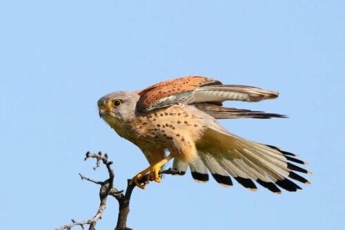 Un Faucon crécerelle posé sur une branche.
