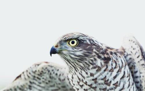 Le faucon faut partie des rapaces diurnes.