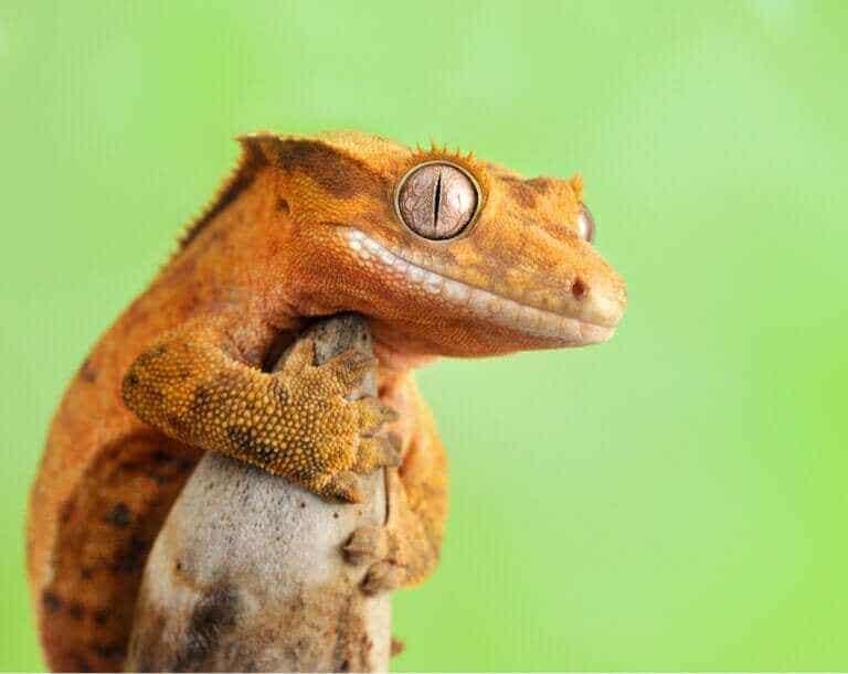 Gecko à crête : soins et caractéristiques
