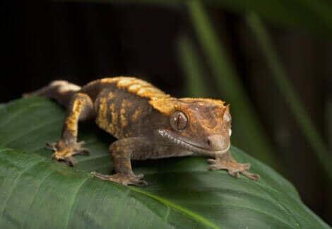 Un gecko à crête sur une feuille.