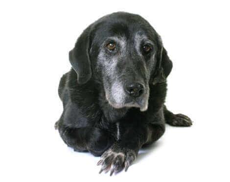 Un labrador âgé noir sur fond blanc.