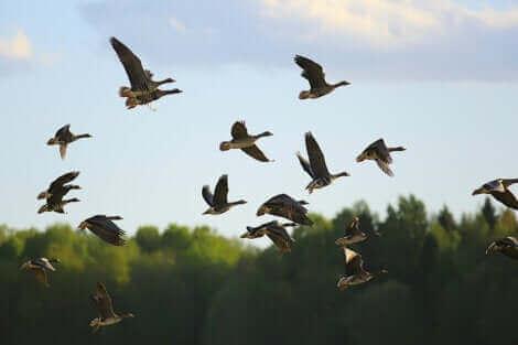 Des oiseaux migrateurs.