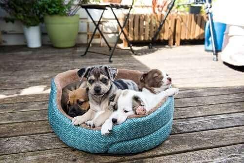 Quatre chiens couchés dans le même lit.
