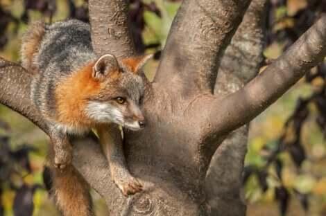 Un renard argenté sur un arbre.