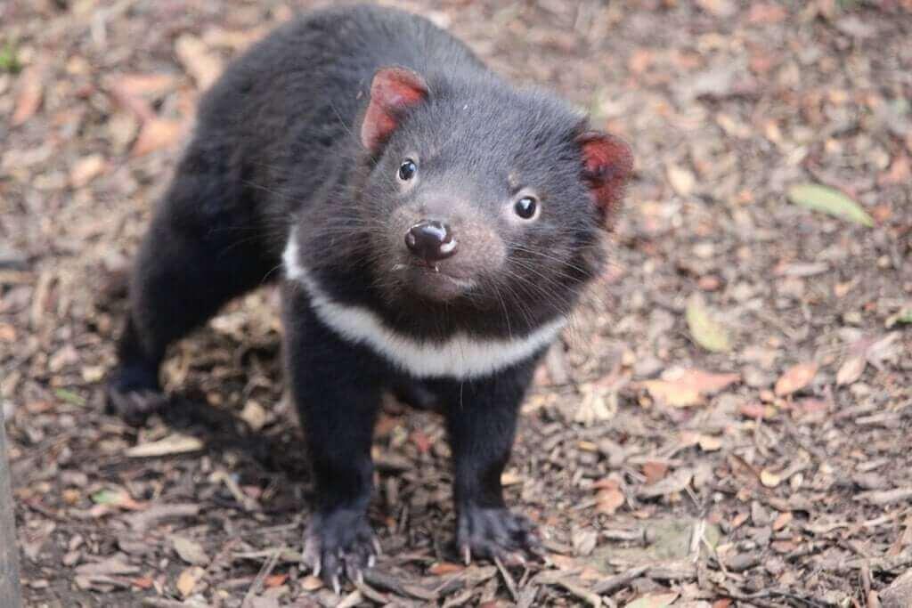 Le retour du diable de Tasmanie en Australie continentale