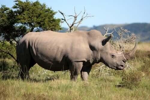 Un rhinocéros dans son habitat naturel.