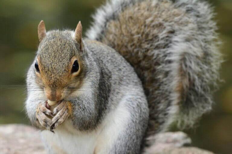 Le rôle de l'écureuil gris dans les forêts