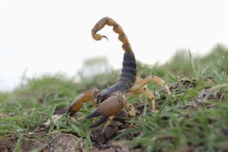 Un scorpion rouge indien.