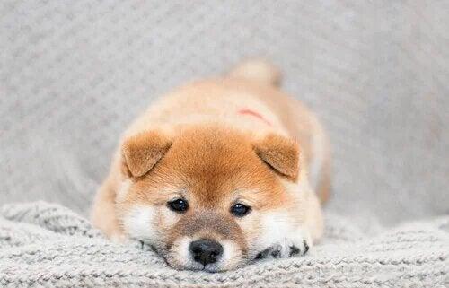 Un shiba allongé.