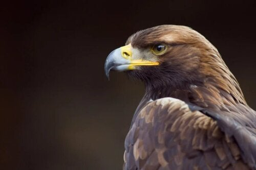Zoom sur la tête d'un aigle.