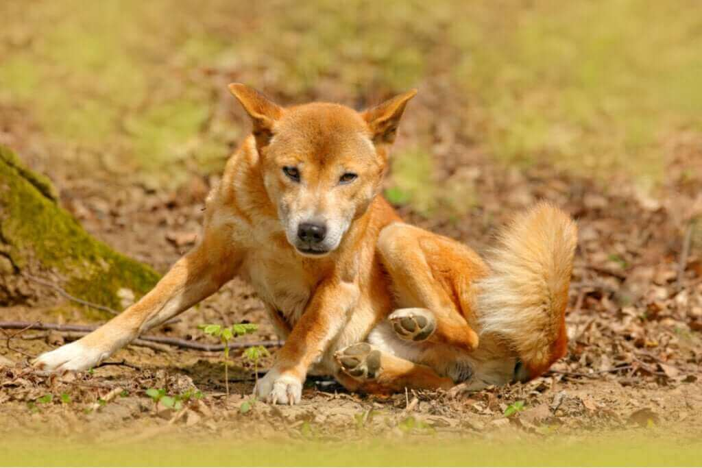 Le chien chanteur de Nouvelle-Guinée n'a pas disparu