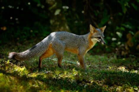 Il s'agit d'un renard argenté.