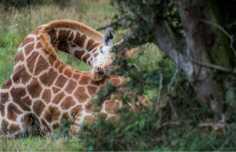 Une girafe en train de dormir.