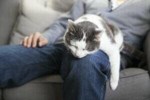Un chat sur la jambe de son maître.