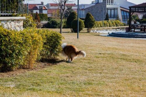 Un chien qui renifle un buisson.