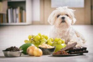 Un chien face à de la nourriture.
