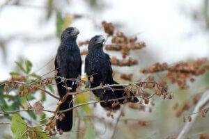 Deux coucous sur une branche.