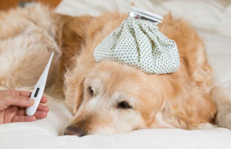 Quels sont les symptômes de la fièvre chez les chiens ?