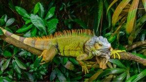Un iguane vert sur une branche.