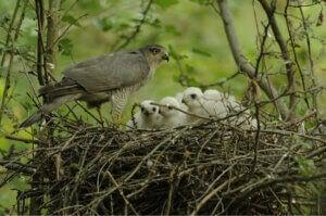 Un nid d'Épervier d'Europe.